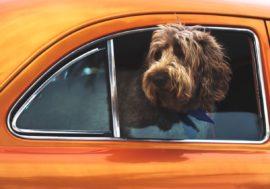 So gewöhnst du deinen Hund ans Autofahren